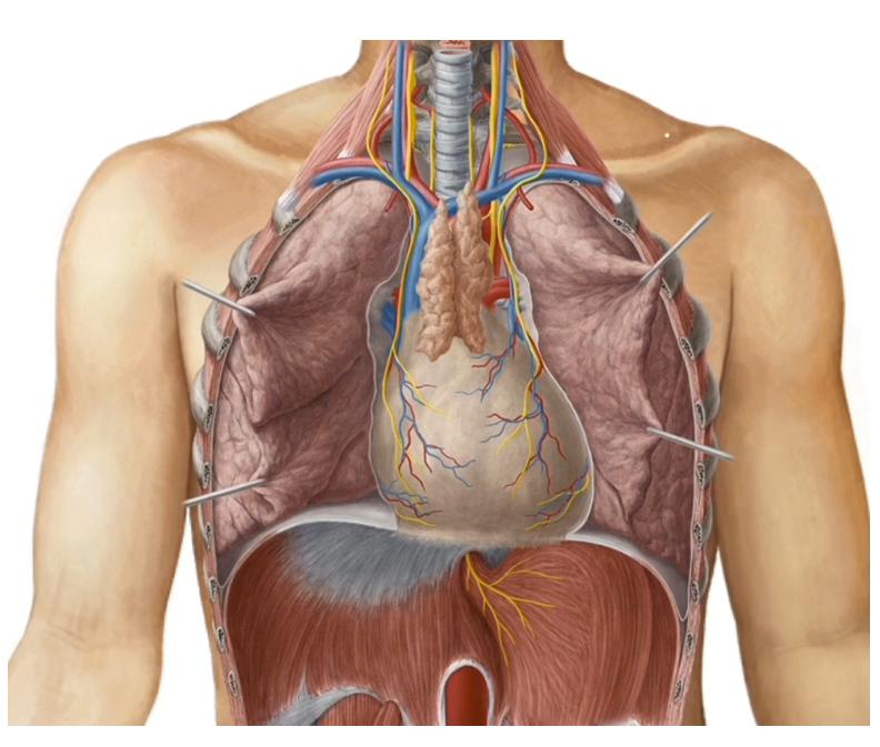 Heart in situ - Heart Chambers - Learn Surgery