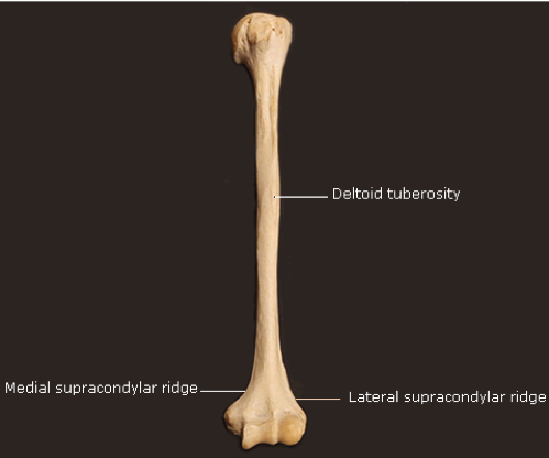 humeral-shaft