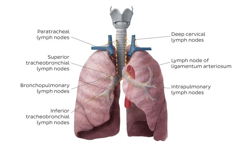 Lymph Nodes and Vessels of Lungs