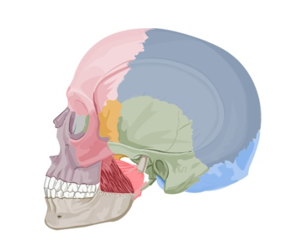 medial-pterygoid-muscle