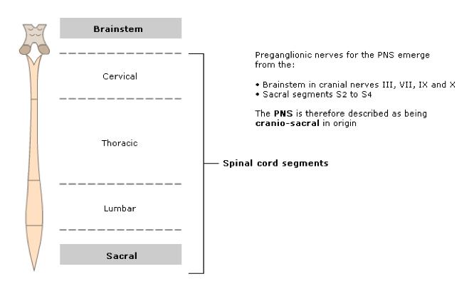 preganglionic-nerves-pns