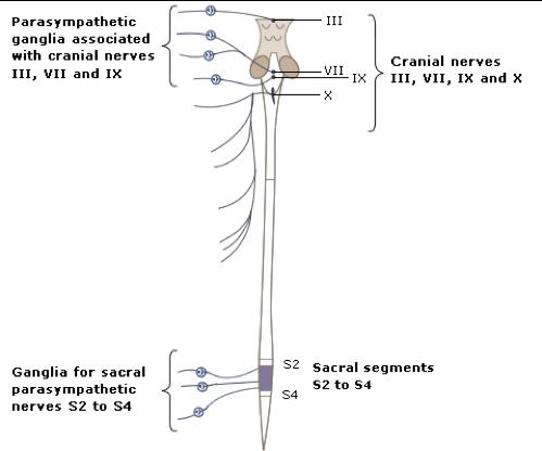 preganglionic-nerves