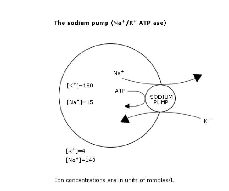 sodium-pump