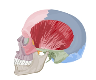 temporalis-muscle