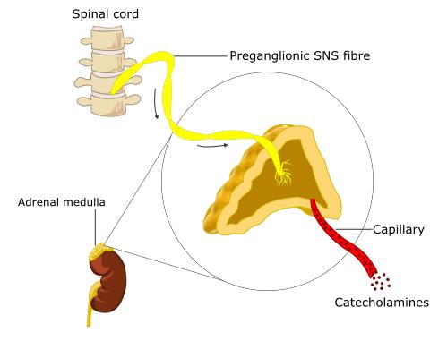 Neuronal Control