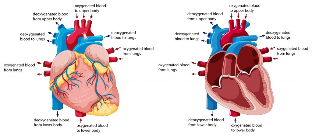 Blood Flow to Heart