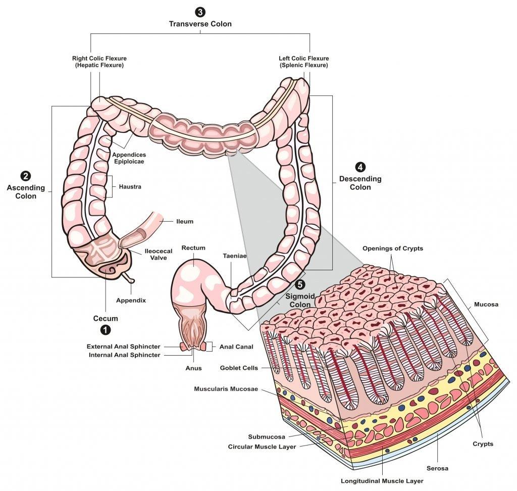 Large Bowel Histology