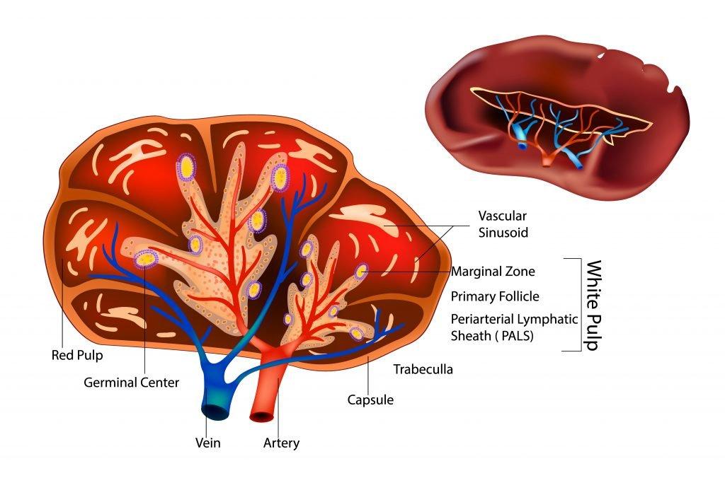 Cross section spleen