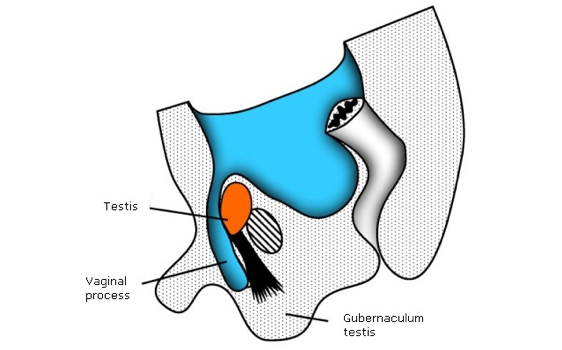 Testicular-descent-seventh-month