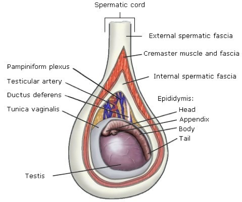 scrotum-anatomy