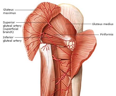 superior-gluteal-artery