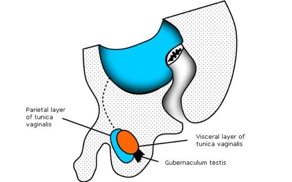 testicular-descent-around-birth